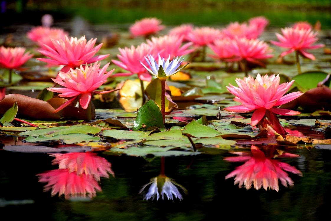 Free photo Water Lilies, water lily, water lilies - to desktop