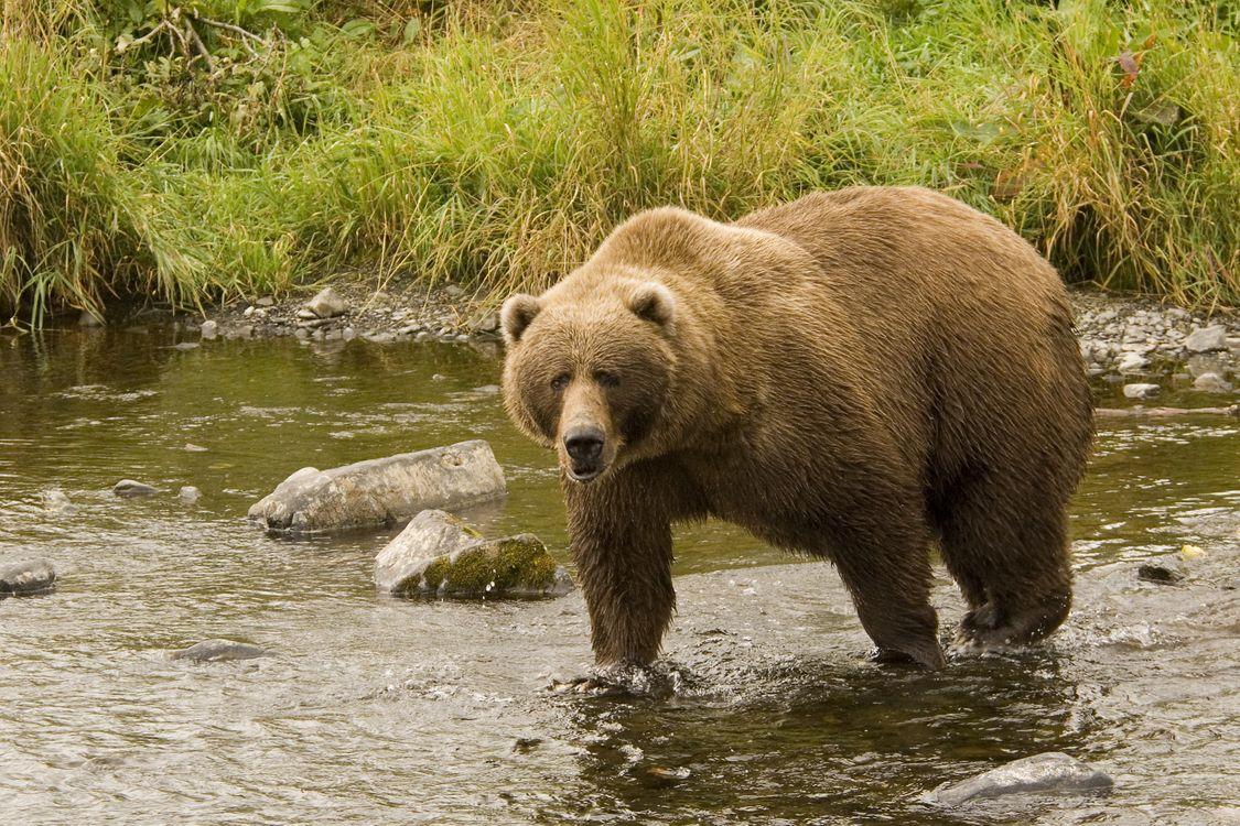 Обои бурый медведь, животное, хищник на телефон | картинки животные
