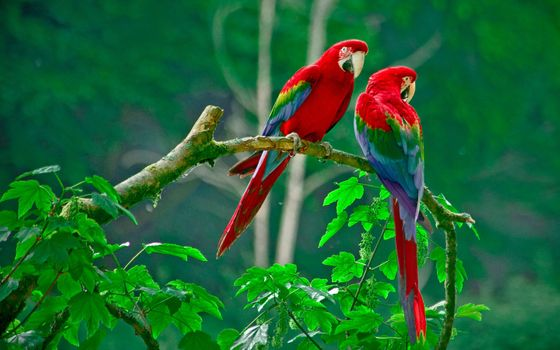 Photo free parrot, Macaw, branch