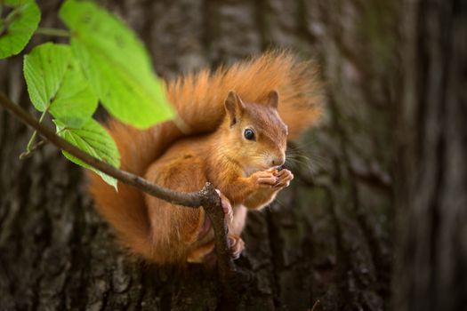 Photo free squirrel, on a branch, redhead
