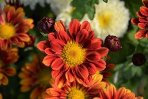 Photo free chrysanthemum, flower, petals