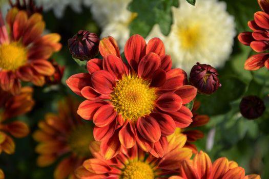 Фото бесплатно хризантема, цветок, лепестки