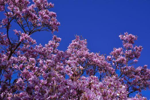 Фото бесплатно Magnolia, цветы, цветение
