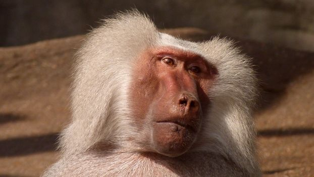 Photo free primacy, macaques, nature