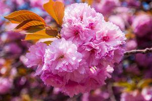 Розовая сакура · бесплатное фото