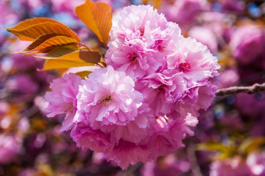Pink Sakura · free photo