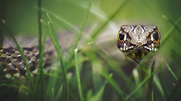 Фото бесплатно змея, трава, глаза