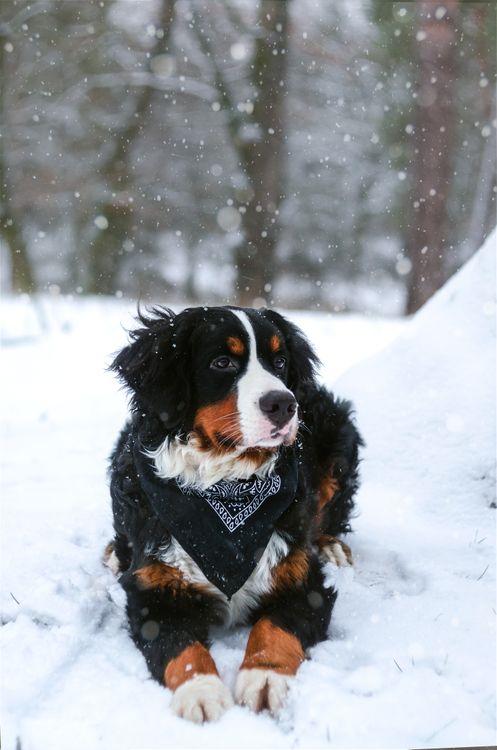 Фото бесплатно бернская горная собака, собака, снег - на рабочий стол