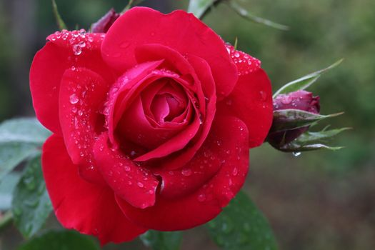 Chic roses - free photo