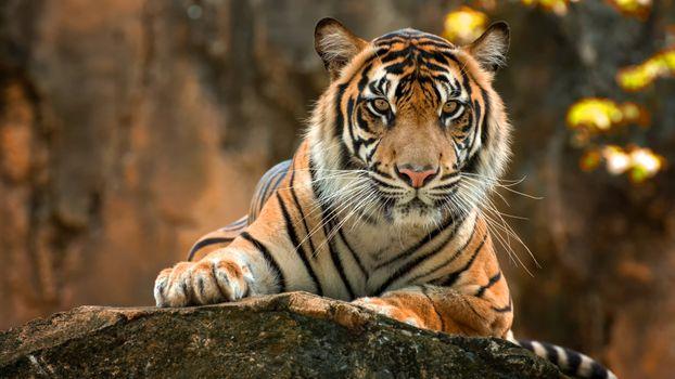 Заставки тигр, животные, лежит
