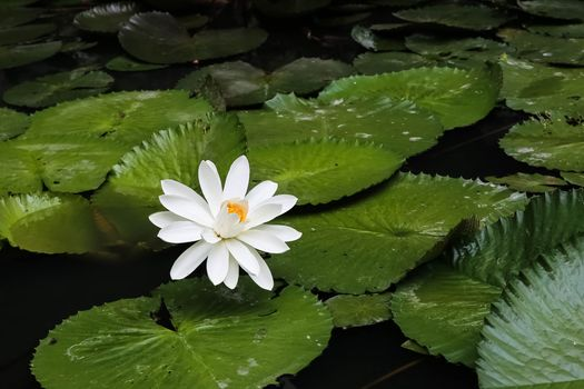 Beautiful wallpapers water lily, water lilies to your desktop