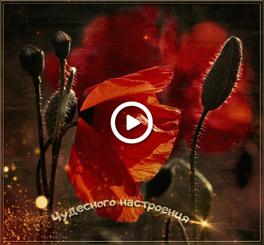 Postcard free mood, red poppies, animation